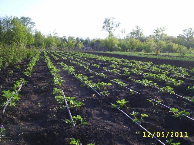 Выращивание клубники удобрение