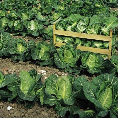 Выращивание рассады ранней капусты.
