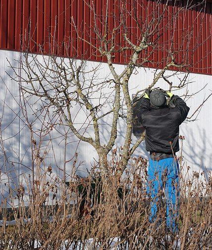 Когда обрезать деревья в саду