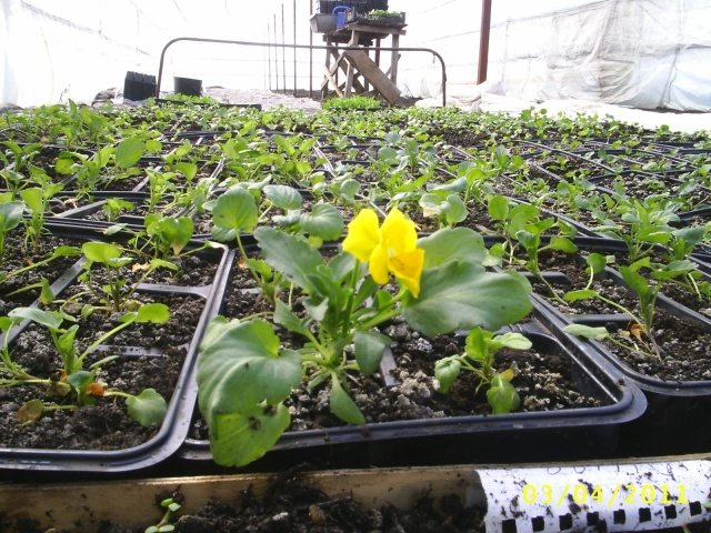 Виола Выращивание