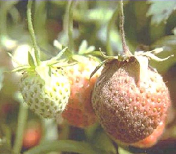 Выращивание клубники. Болезни