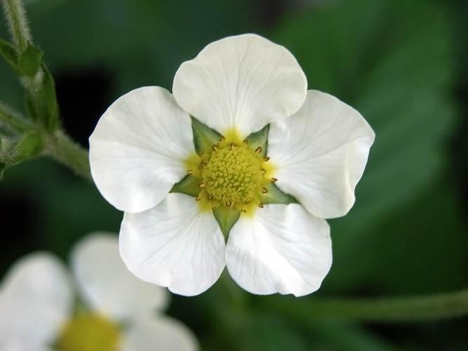 Клубника цветок