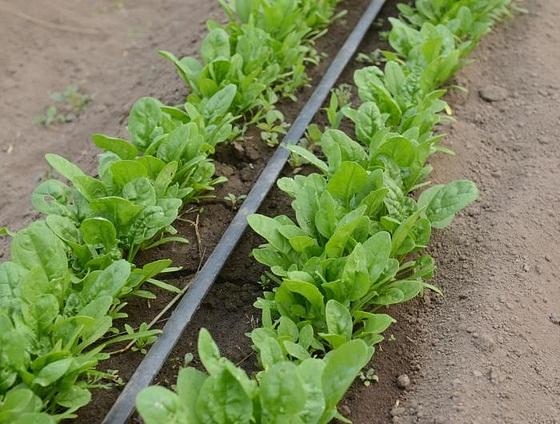 Шпинат выращивание